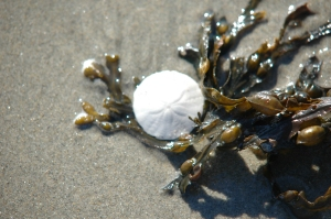 Sand dollar and seaweek 2
